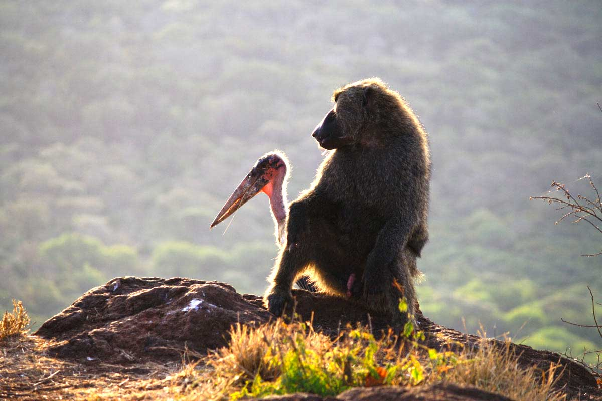 Pavian und Marabu in Äthiopien