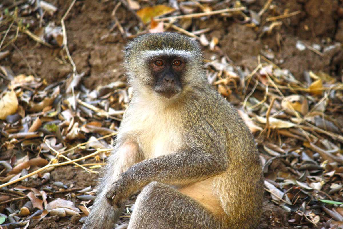 Vervet Monkey, Sambia
