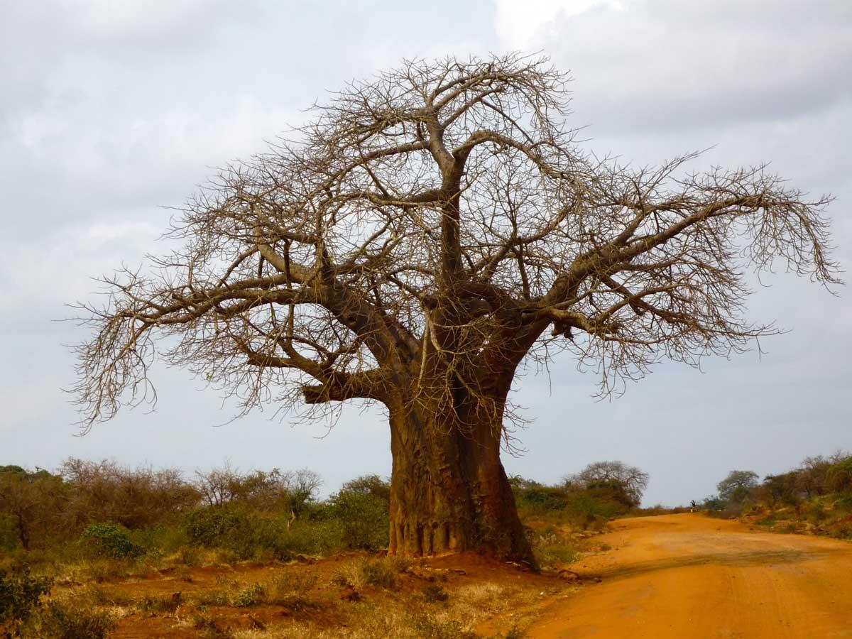 Baobab Baum in Kenia