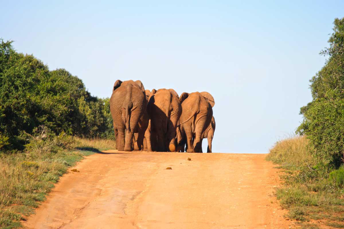 Elefanten auf der Strasse im Addo Elephant Park, Südafrika
