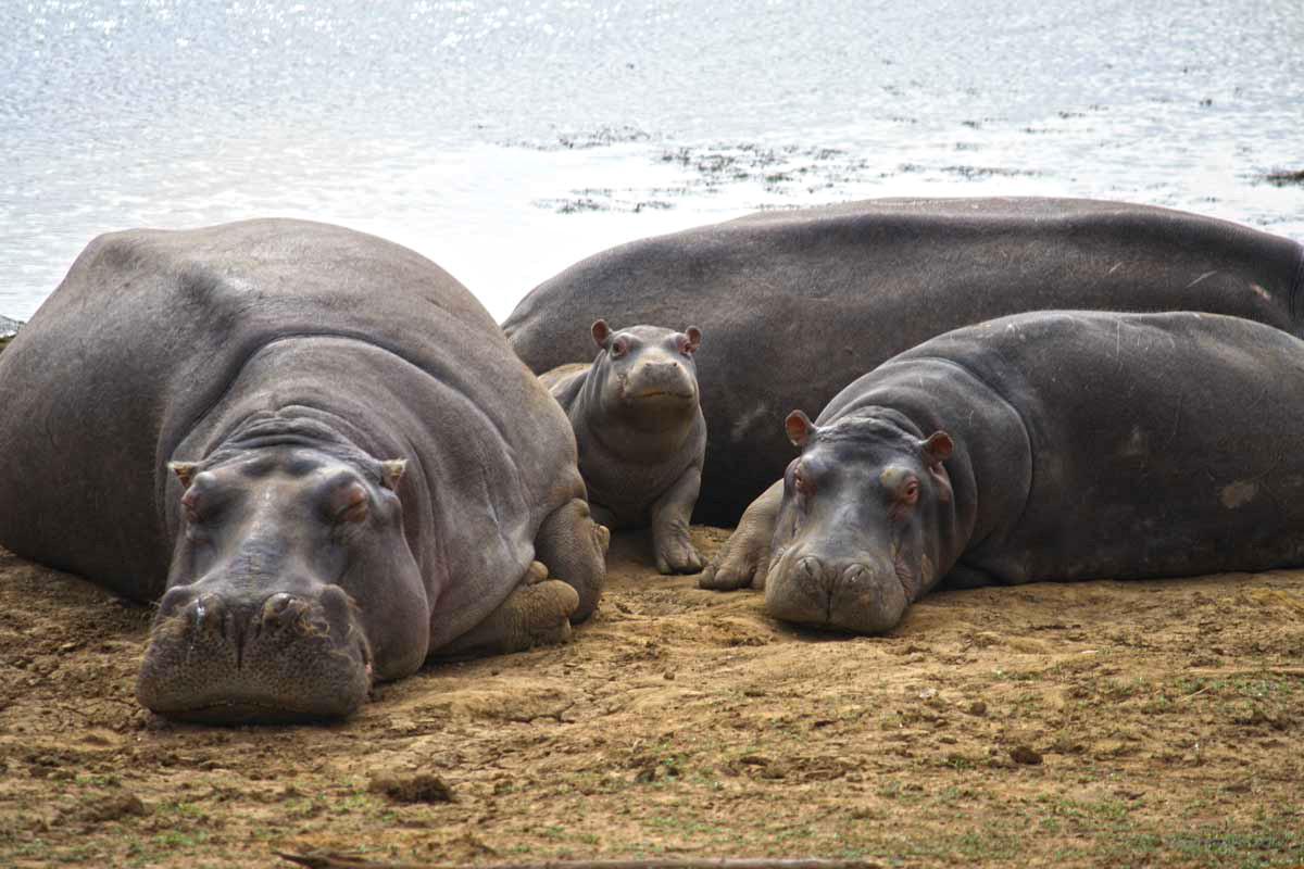 Flusspferde im Pilanesberg Nationalpark