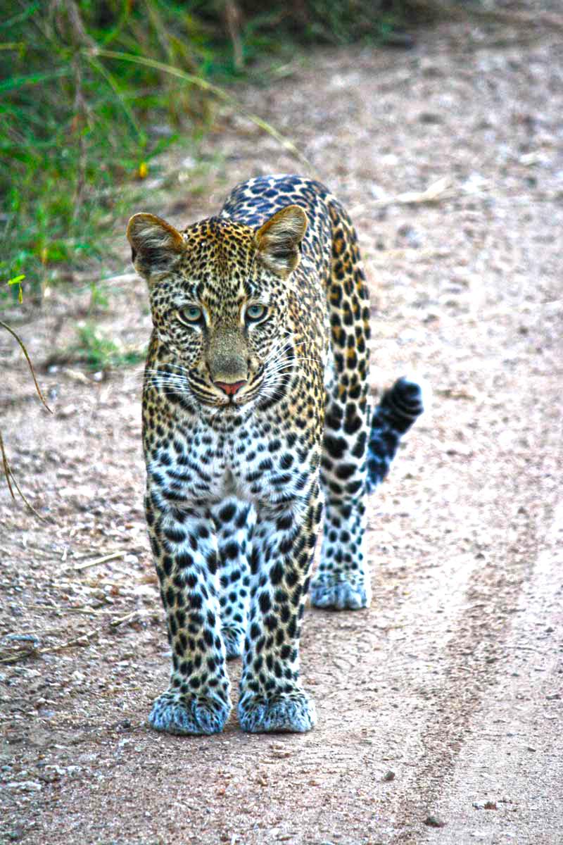 Junger Leopard im Kruger Nationalpark in Südafrika