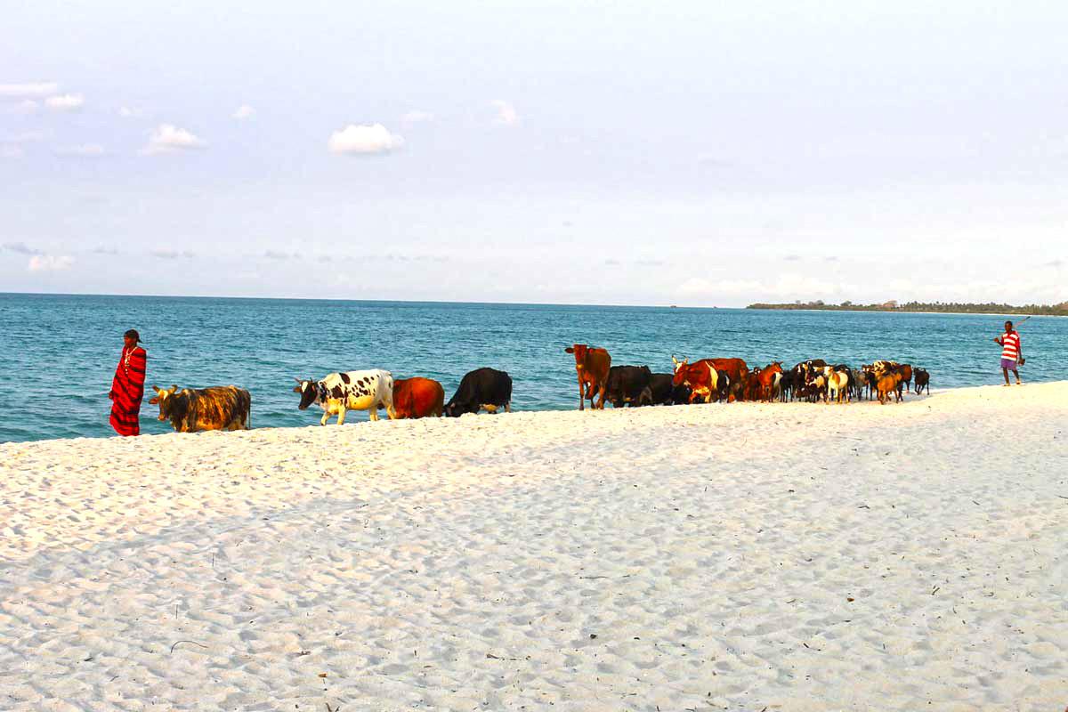 Kuhherde am Strand in Tansania