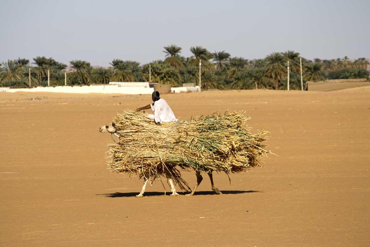 Kamele statt Lastenesel im Sudan