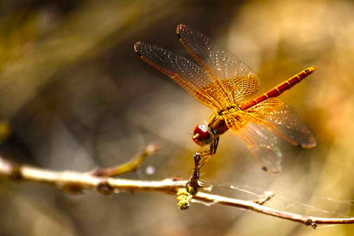 Libelle in Afrika
