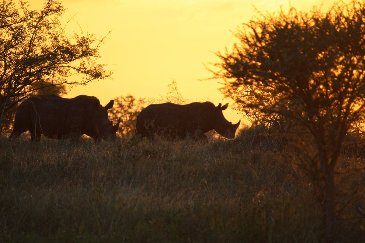 Nashörner im Sonnenuntergang  in Südafrika