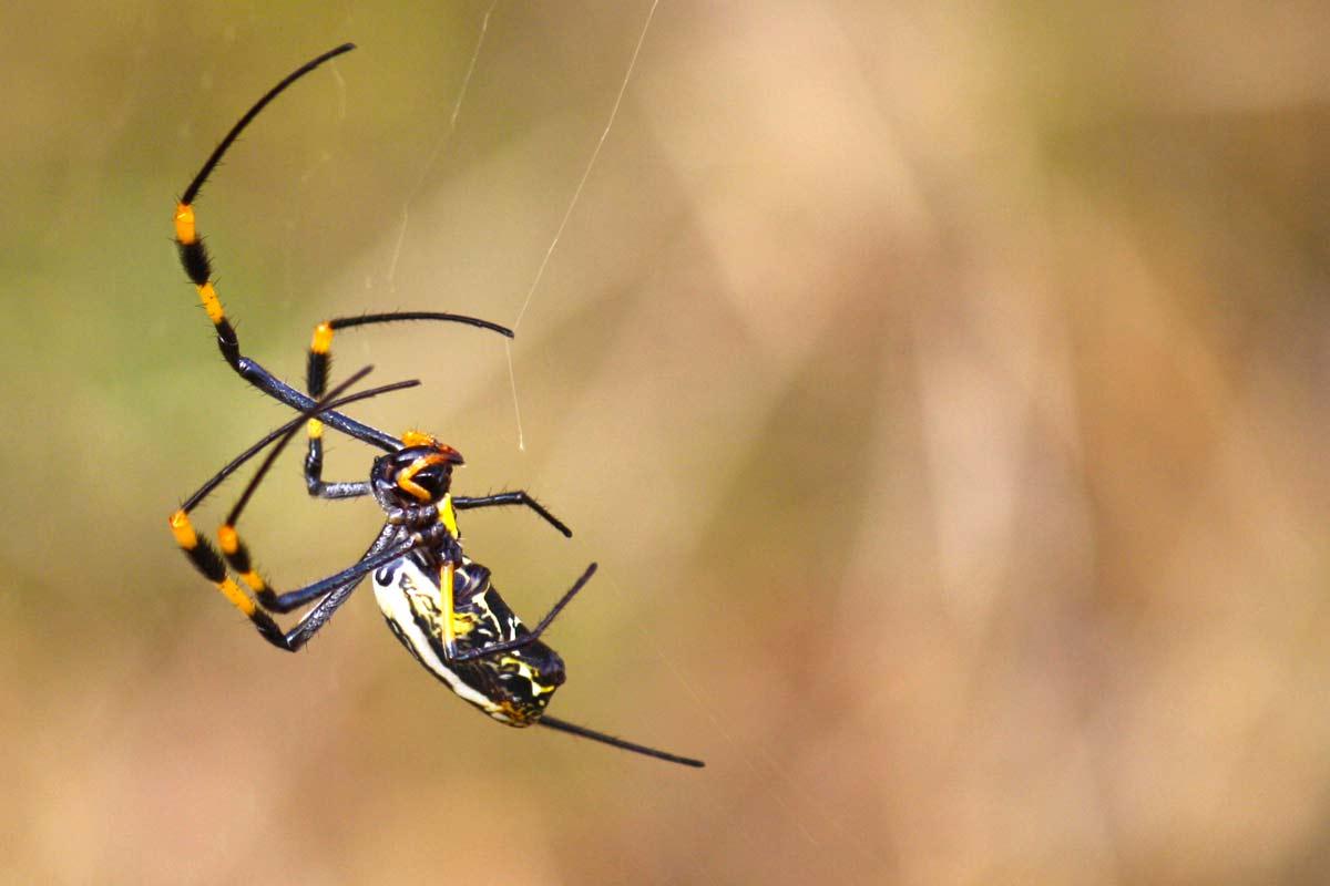 Spinne im Kruger Nationalpark