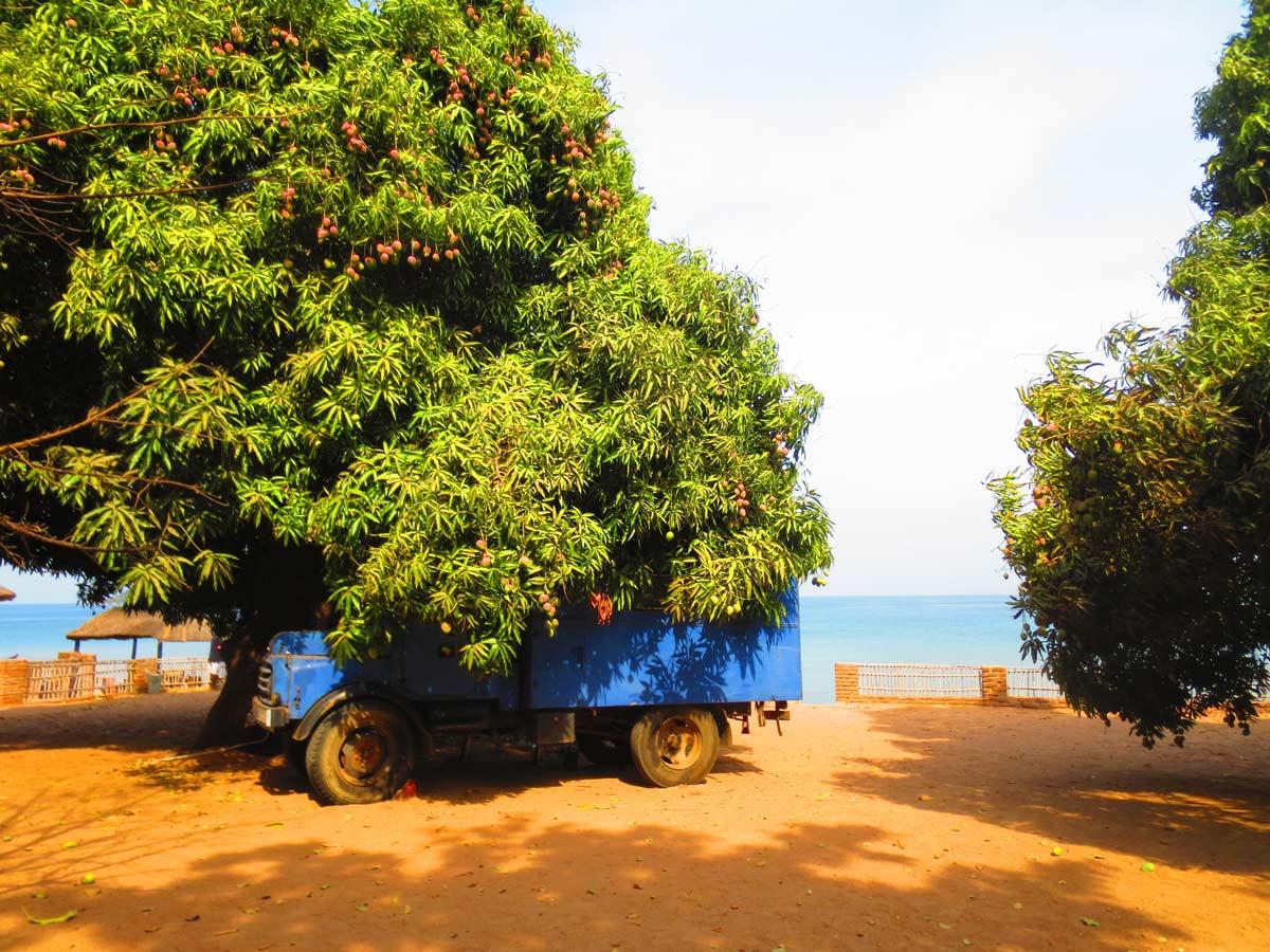 Riesiger Mangobaum in der Fat Monkey Lodge in Cape Maclear, Malawi
